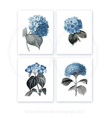 Blue Hydrangea set of 4 botanical art prints home decor wall art