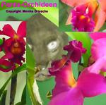 Panta-Orchideen