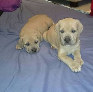 For sale Neo mastiff puppies Cooloola Cove Gympie Area Preview