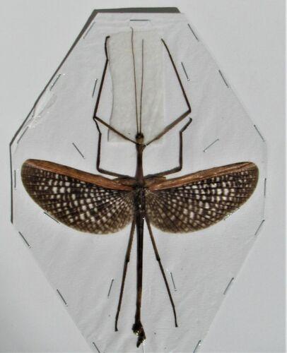 Seram Island Winged Stick Bug Anchiale maculata Male Spread FAST FROM USA