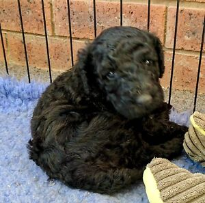 Australian Cobberdog female pup ( not a Labradoodle ) Young Young Area Preview