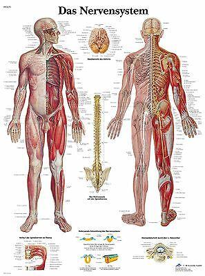 menschliches Nervensystem Lehrtafel  Anatomie 50 x 67cm Poster