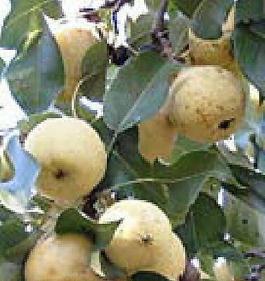Rare Very  Hardy Ussurian Pear Fruit Tree Edible  Foodplot Wildlife Live Plant