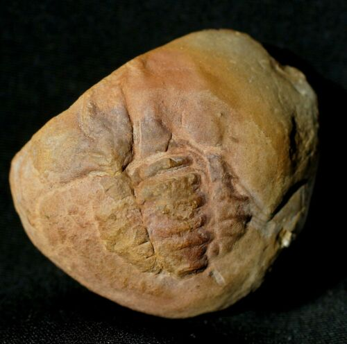 Extremely rare unknown fossil horseshoe crab species in Mazon Creek like nodule