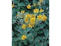 brachyglottis plant shrub silver leaf yellow flower