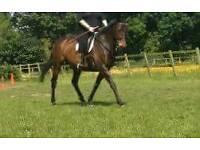 16 hand thoroughbred mare