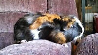 Guinea Pigs Available for Adoption!!