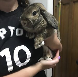 Holland lop looking for a new home
