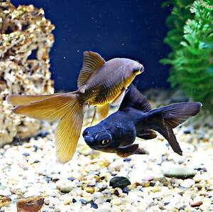 GOLDFISH ONLINE FROM $5 Glenning Valley Wyong Area Preview