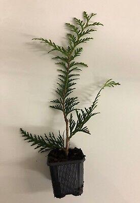 Thuja Green Giant Arborvitae Live Tree Seedlings 3