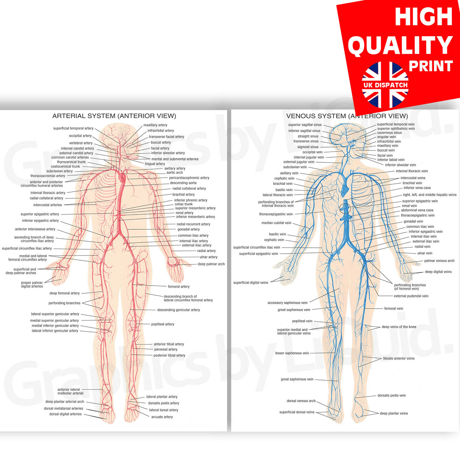 Venous And Arterial System Education Anatomy Poster Print A4 A3 A2