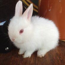Baby rabbit Morangup Toodyay Area Preview