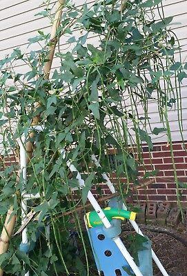 Organic Yard Long Beans  Sitaw  String Beans  Us Homegrown  30   10 Okra Seeds