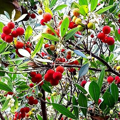 Erdbeerbäumchen Erdbeerbaum Arbutus unedo frosthart