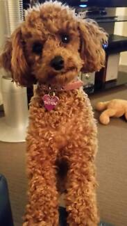 TOY POODLE APRICOT Innaloo Stirling Area Preview