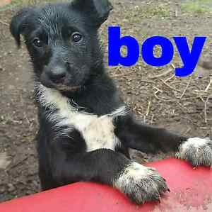 Billy boy the koolie pup Drouin Baw Baw Area Preview