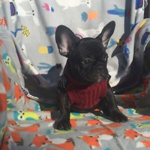 French bulldog male registered / Bouledogue français enregistré