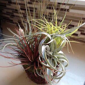 tillandsia flowers trees plants ebay. Black Bedroom Furniture Sets. Home Design Ideas