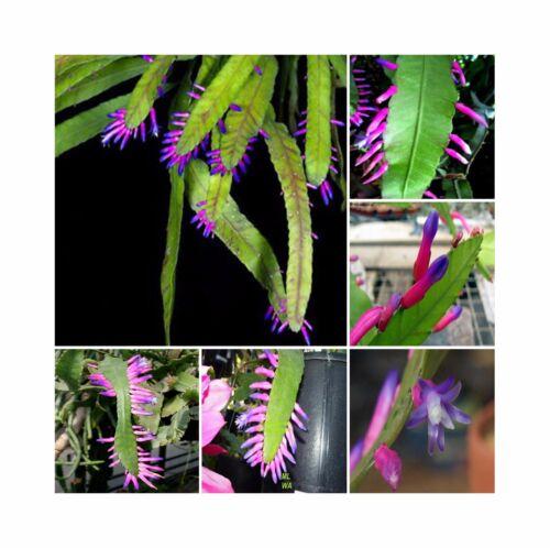 Wittia Amazonica * Amazing Epiphyllum * Disocactus * Extremely Rare * 5 Seeds *