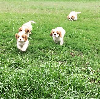 Purebred Cavalier King Charles Spaniel puppies
