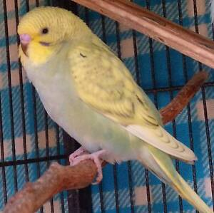 Cute Tame Baby Budgies Roleystone Armadale Area Preview