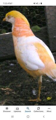 4 Peach Golden Pheasant Hatching Eggs Pre Sale