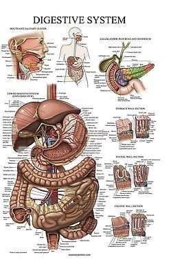 Laminated Digestive System Anatomical Chart - Gastrointestinal Anatomy Poster