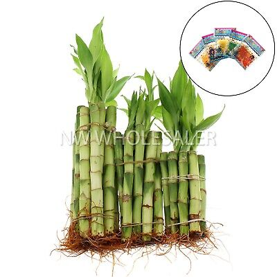 NW Wholesaler Lucky Bamboo 30 Stalks 4