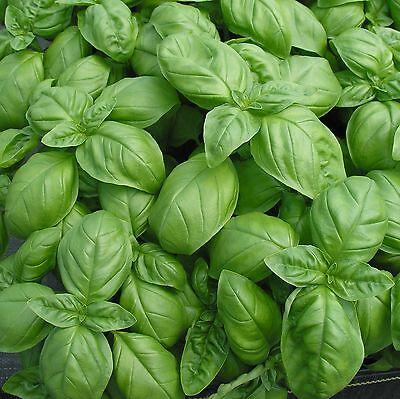 Basilikum Genovese 20+ Samen - URSPRÜNGLICH ITALIENISCH! (Genovese Basilikum Samen)