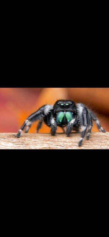 Phidippus audax jumping spider bait feeder