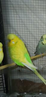 Budgies male Hackett North Canberra Preview