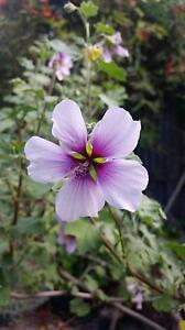 Native hibiscus? Pot Plants, Flowers, Succulents, Trees Brunswick Moreland Area Preview