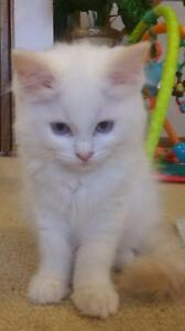 Flame Point Ragdolls ready for their new home Cranebrook Penrith Area Preview