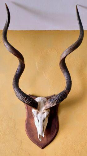Kudu Horn Afrika Deko Kuhhorn Antilope teilgeschliffen Black
