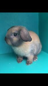 BABY MINI LOP BUNNYS. Bayswater Knox Area Preview