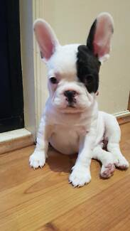 FRENCH BULLDOG FOR SALE READY TO GO