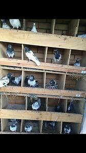 Pakistani    pigeon for sale $250 pairs phone number  Inglewood Stirling Area Preview