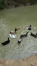 Beautiful ducks Eudlo Maroochydore Area Preview