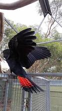 BLACK COCKATOO FOR SALE Geelong Geelong City Preview