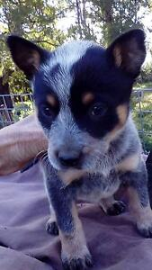Red and Blue Heeler pups Yarram Wellington Area Preview