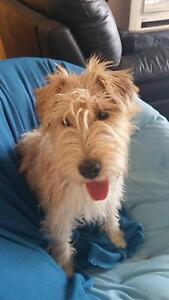 Morris -  Jack Russell x German Wirehaired Fox Terrier Oakdowns Clarence Area Preview