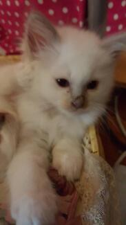 Lilac Point Birman Kittens For Sale Moree Moree Plains Preview