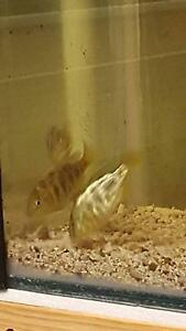Venustus Cichlids 8cm to 9cm only 5 for  $60 Emu Heights Penrith Area Preview