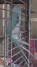 Indian Ringneck Blue Baby 14 wks DNA Female with Cert Landsdale Wanneroo Area Preview