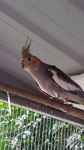 Young Female Cockatiel North Turramurra Ku-ring-gai Area Preview