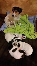 Stunning Fox terrier x Jack Russel terrrier pups for sale Wamboin Queanbeyan Area Preview