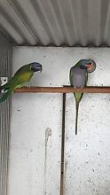 Derbyan parrots Langhorne Creek Alexandrina Area Preview