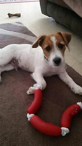 wanted female jack russell Ridgewood Wanneroo Area Preview