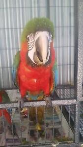 HANDRAISED HYBRED MACAW Yeppoon Yeppoon Area Preview