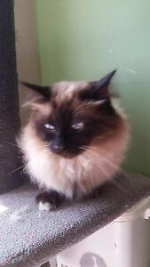 Male Ragdoll 4 years old Capital Hill South Canberra Preview
